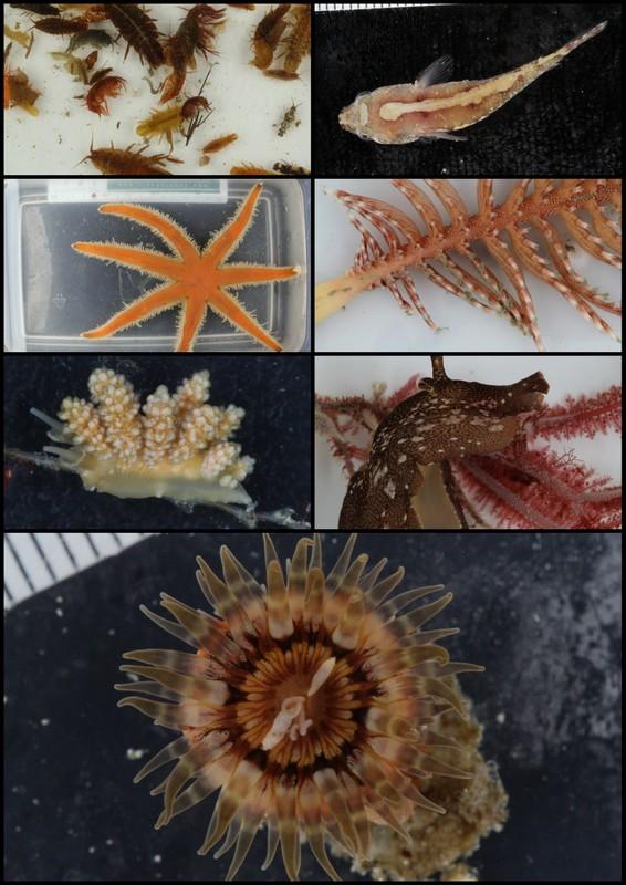 NorBOL-og Artsprosjektplukking: flotte amphipoder og isopoder i ifra tangstilker, Diplecogaster bimaculata, sjuarmet skjørstrejne (Luidia ciliaris), sjøfjær, nakensnegl og sjøhare, og en anemone, antakelig Sagitaria troglodytes