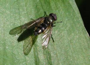 Liten ramsløkflue. Foto: Fritz Geller-Grimm, Wikimedia Commons