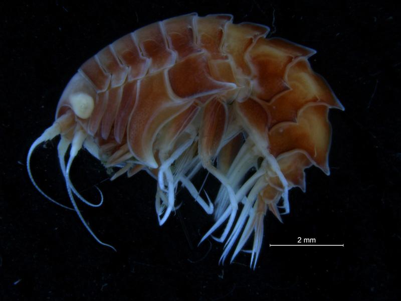 Epimeria parasitica - fotografert før barcoding med NorBOL hos BOLD. Foto: C Østensvig