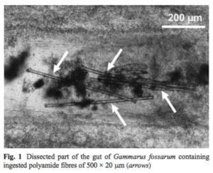 Mikroplastfibre i tarmen til Gammarus fossarum (hvite piler). Fig 1 fra Blarer & Burkhardt-Holm 2016.