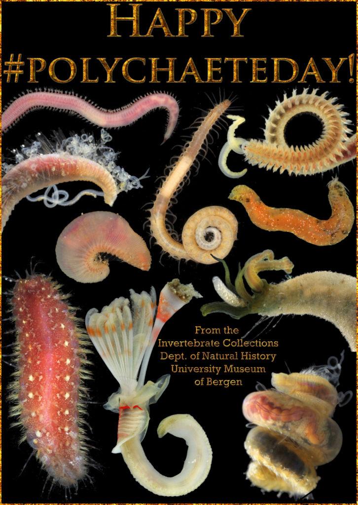 Her er et utvalg av dyrene vi samlet under  #AnnelidaCourse2017 som ble arrangert på Espegrend i juni. Fra øverst til venstre: Glyceridae, Syllidae, Spionidae, Cirratulidae, Phyllodocidae, Scalibregmatidae, Flabelligeridae, Polynoidae, Serpulidae og Cirratulidae (foto & grafikk: K.Kongshavn)