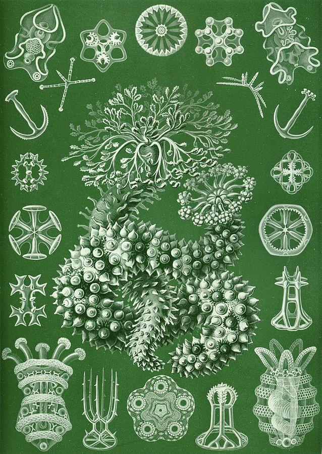 """Holothurians plate av Ernst Haeckel fra hans """"Kunstformen der Natur"""" (1904). Kalkpleter i ulike former (hjul, anker """"spikermatter"""" etc) ses rundt en sjøpølse. Bilde fra Wikimedia"""