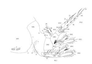 Alle de mange børstene på bakkroppen (urosomet) til en generalisert Bathyporeia. Fig 2  fra d'Udekem d'Acoz 2004