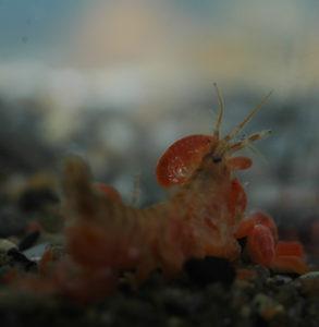 En mengde lysianassoide amfipoder (alle de orange dyrene) spiser på en død Gammarus setosus. Bildet er fra akvarium, både de lysianassoide amfipodene og Gammarus setosus levde sammen i begynnelsen, og kom fra samme innsamlingssted og tid. Foto: AH Tandberg