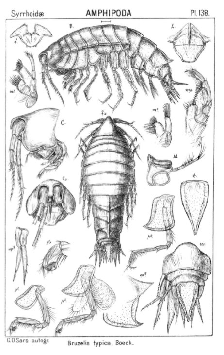 Illustrasjon av Bruzelia typica. GO Sars 1895 pl 138