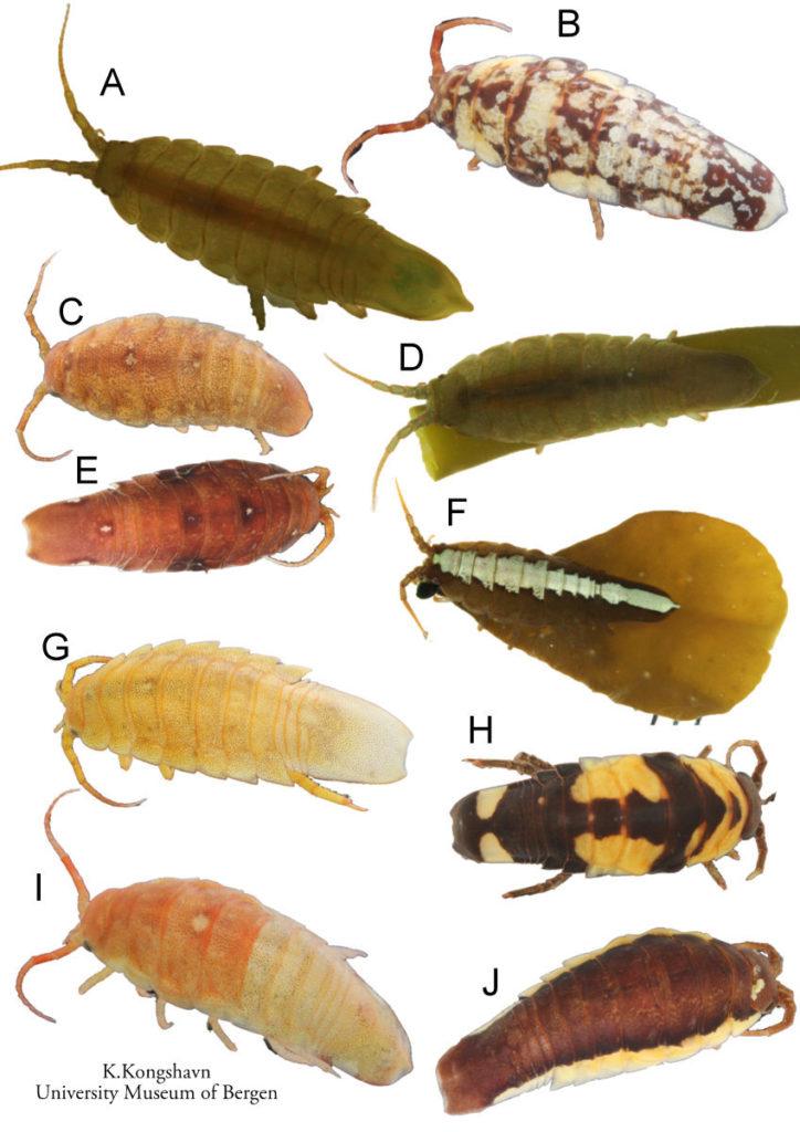Isopoder i slekten Idotea