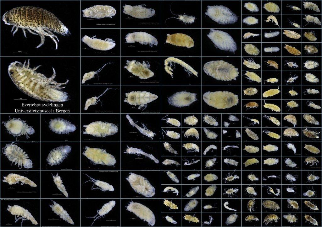 Isopoder i fra MAREANO-materialet til barcoding. Foto: K.Kongshavn