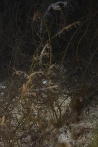 Spøkelseskreps - Caprellidae - samler seg for å finne en partner. Foto: G. Johnsen (NTNU)