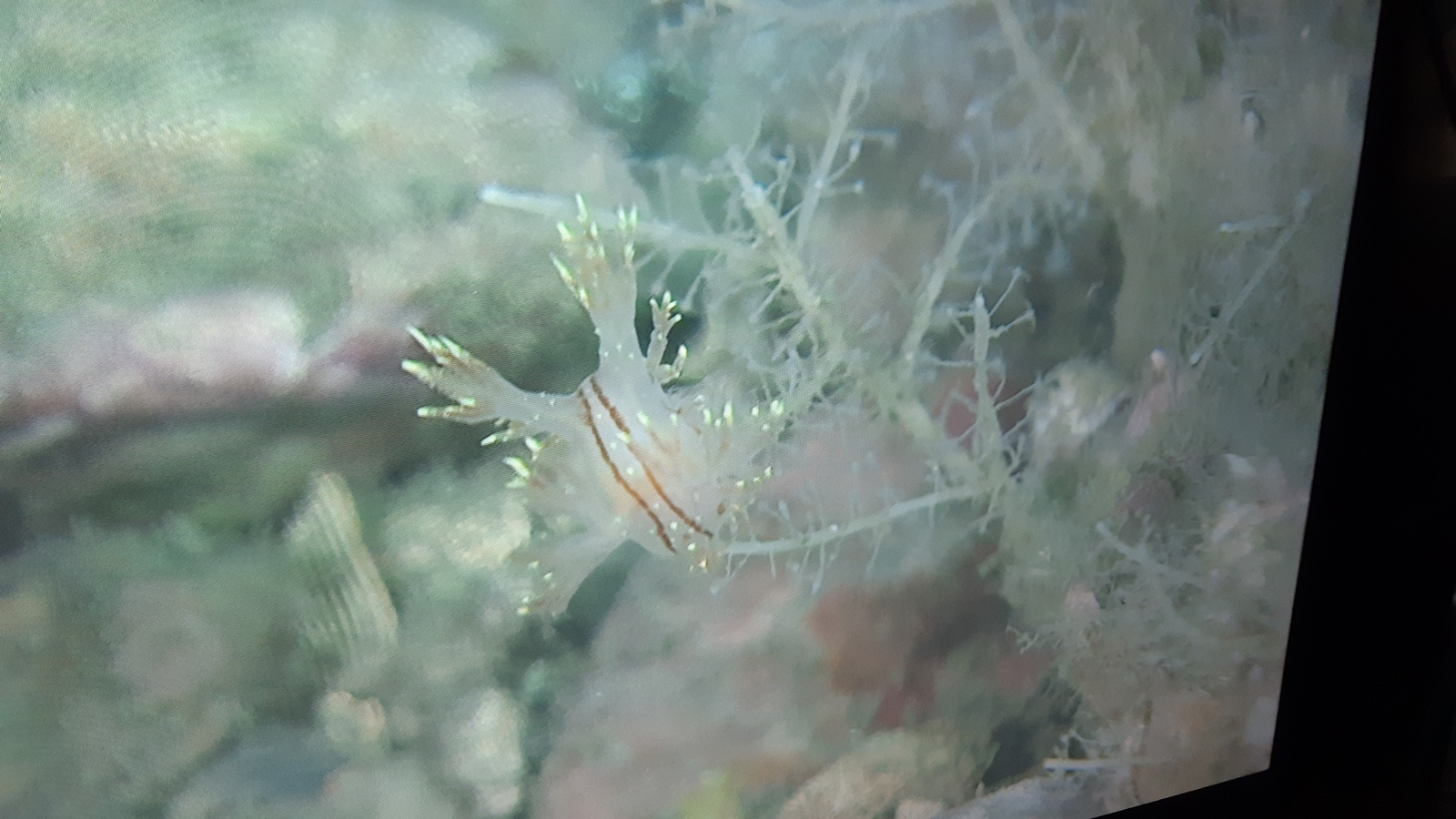 En nakensnegl i slekta Dendronotus, vi tror det kan være D. yrjargul