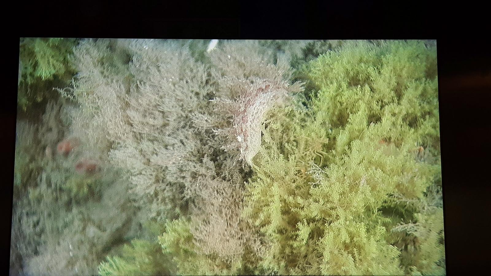 En annen Dendrontus, og hydrozoa og bryozoa