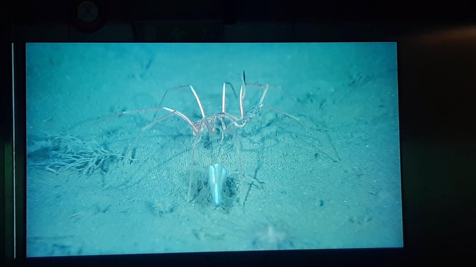 En stor sjøedderkopp (Pycnogonida)